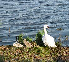 Mama Swan and babies by Jan Morris