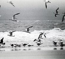 Scrambling Sea Birds by Jim Haley
