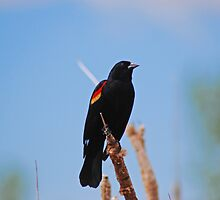 Redwing Blackbird by Bree Waltman