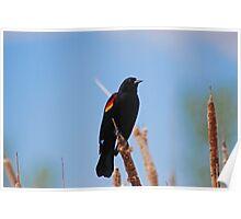 Redwing Blackbird Poster
