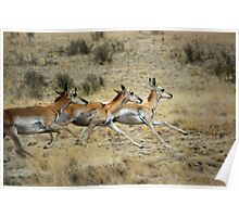Antelope Wild and Free ~ Sierra Co, New Mexico Poster