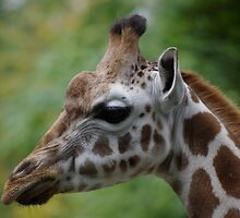 Rothschild's Giraffe by DEB VINCENT