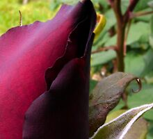 dark red rose by tego53