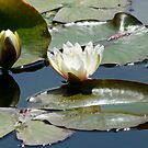 light through a water lily by tego53