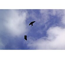 Welcome Swallows in play - Aireys Inlet Photographic Print