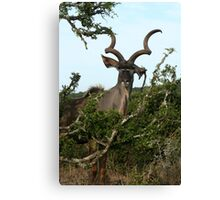 Kudu watching - Addo National Park - South Africa Canvas Print