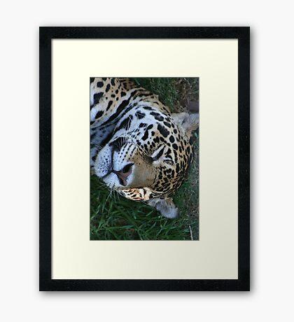 Sleeping Jaguar Framed Print
