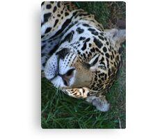Sleeping Jaguar Canvas Print