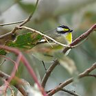 Striated Pardalote (Pardalotus striatus) - Brownhill Creek, South Australia by Dan & Emma Monceaux