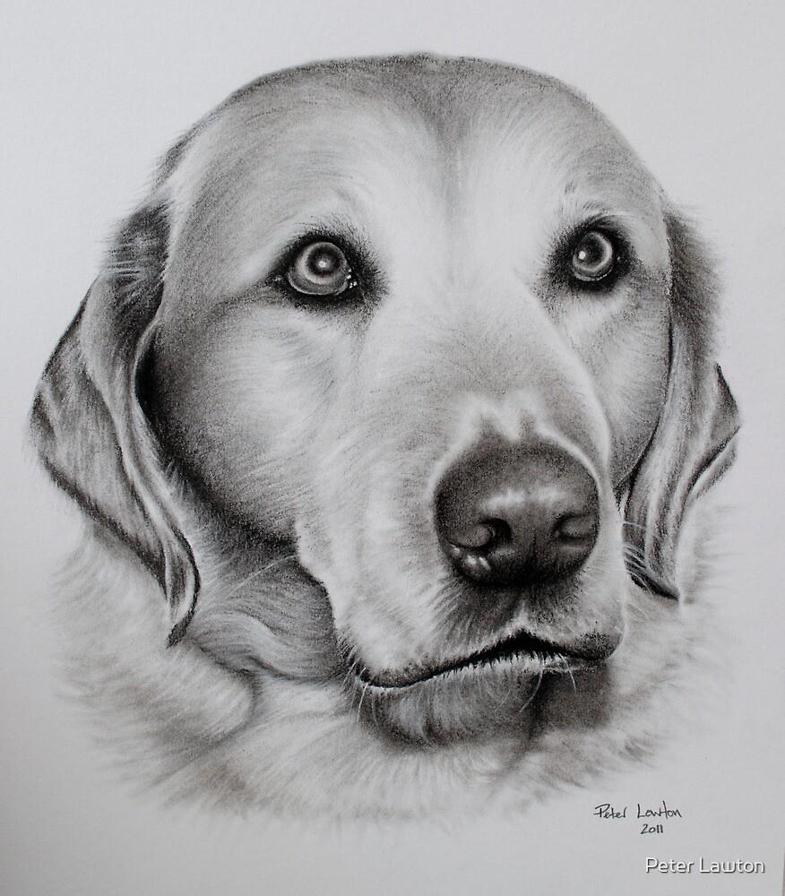 Golden Labrador by Peter Lawton