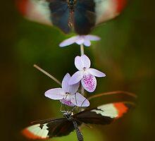 Dance of the Butterflies by Linda Cutche