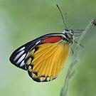 Butterfly by newcastlepablo