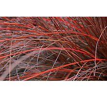 Red Sedge Photographic Print