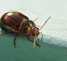 The Metallic Rosemary Beetle by Simon Hills