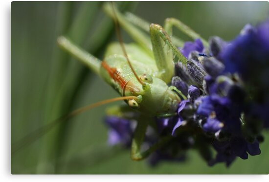 Grasshopper Portrait by marens