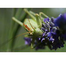 Grasshopper Portrait Photographic Print