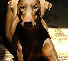 Dexter the Doberman sunning indoors. by Leslie Bird Nuccio