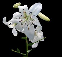 White Lily by vette