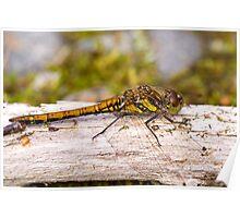 Common Darter dragonfly female Poster
