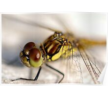 Common Darter  dragonfly compound eye and synthorax Poster