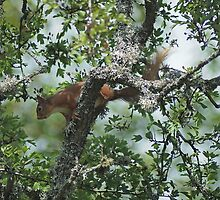 Red Squirrel by Jim Frost