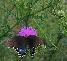 Butterfly in a sea of green thistles by Christopher Hignite