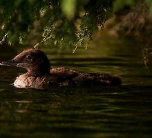 Common Loon Baby by Michael Cummings