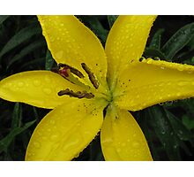 Bejewelled - Beautiful Lemon Lily Photographic Print