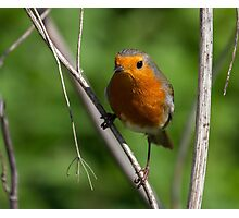 Robin Stance.. Photographic Print
