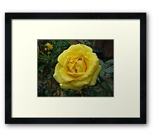 Decked with Diamonds - Pretty Yellow Minirose Framed Print