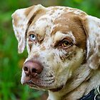 Gypsy The Catahoula Leopard Dog by Joe Jennelle