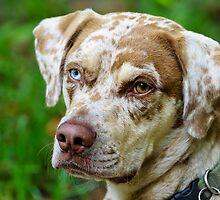 Gypsy The Catahoula Leopard Dog by Joe Jennelle