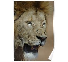 Lions face Poster