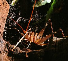 New Zealand Cave Weta by Peter Shearer