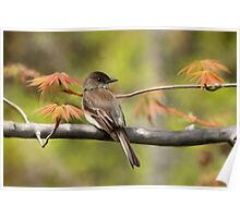 Eastern Phoebe Flycatcher - Photo Painting Poster