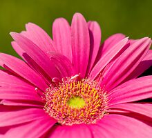 Pink Daisy flower by Kenneth Ng