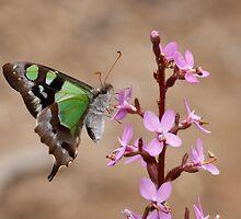 Macleay's Swallowtail - Graphium macleayanus by Paul Piko