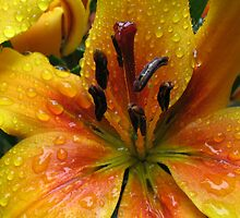 Forever Amber - Lily With Raindrops by BlueMoonRose