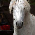 young Eriskay colt by David Ford Honeybeez photo