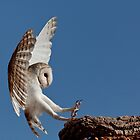 Australian Barn Owl by David Woolcock