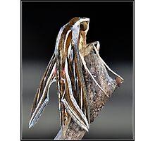 Striped Hawk Moth Photographic Print