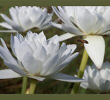 Bee-po-lil-nated by jono johnson