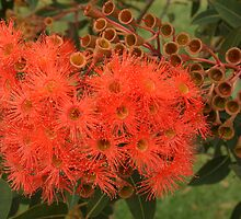 Corymbia ficifolia ... orange blossoms by Michael Matthews