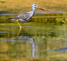 Greater Yellowlegs by Randall Ingalls