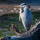 Great Blue Heron Chillin&#x27; by Randall Ingalls