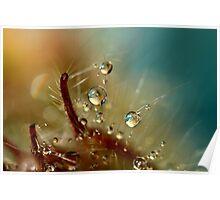 Geranium Drops Poster