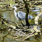 Grey heron by ivanfeltonglenn
