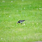 Pied Wagtail getting lunch by CjbPhotography