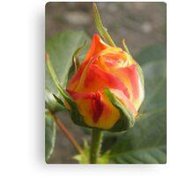 Roses not red Metal Print