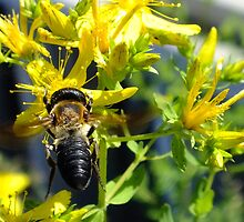 Bee on St. Johnswort by Hope Ledebur
